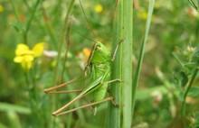 Green Grasshopper On Grass