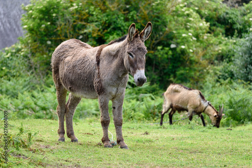 Canvas-taulu Wild donkey accompanied by a goat grazing in the background.