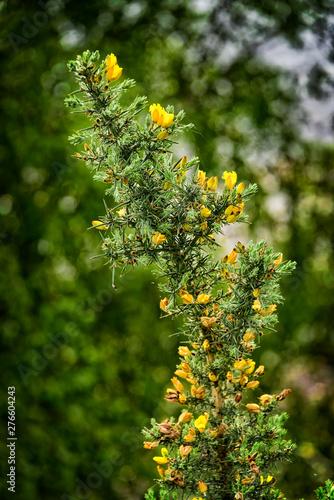 Yellow Gorse Flower in Scotland.