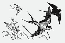 Three Barn Swallows Hirundo Rustica Flying Over Flowers And Grasses, After Antique Engraving From Early 20c.