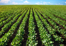 Field Of Young Shoots Of Soy. Thick Rows Of Soybean Plants Growing In A Field In The Rays Of The Sun. Selective Focus.
