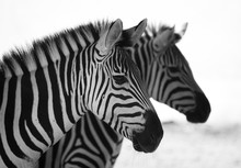 Black And White Close Up Of A Zebra With Another One Blurry At The Background