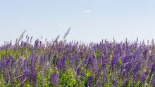Many Flowers Of Lupins The Clear Sky. Panorama Landscape Background Wallpaper Banner. Blooming Meadow Blue Lilac Flowers Lupines