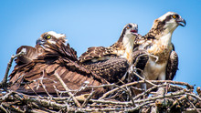 Ospreys On The Bay Babies And Momma