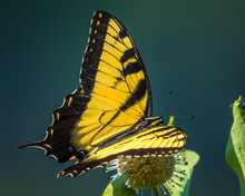 Tiger Swallowtail Butterfly On A Flower