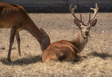 Deer Lying On The Grass Staring To The Camera, Zoo Concept
