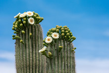 Saguaro Cactus Flowers On Top Against Sky