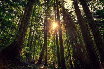 Sunrise in the Tall Trees. Olympic National Forest