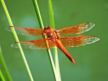 Orange Dragonfly Resting On Blade Of Grass