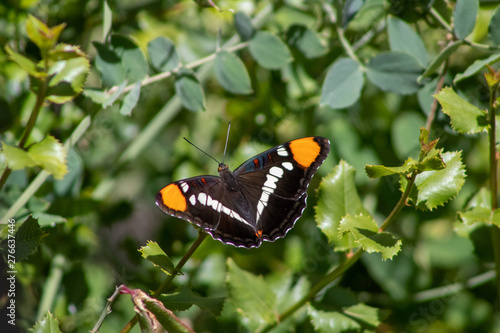 California Butterfly