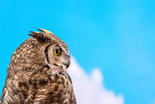 Great Horned Owl Against Blue ...