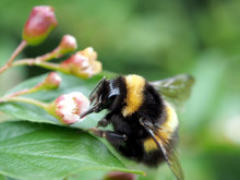 Bumblebee Sits On A Flower And Collects Nectar