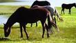 Wild horses grazing at the Limpiopungo Lagoon, Cotopaxi National Park, Ecuador