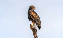 Harris's Hawk Parabuteo Unicin...