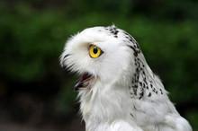 Snowy White Owl In Yellow Eyes...