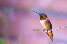 Rufous Hummingbird Selasphorus...