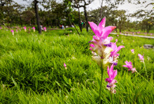 Siam Tulip Flower ( Krachiew Flowers ) Or Curcuma Sessilis Flowers Field Are Blooming In Beautyful Natural In Rainy Season At Pa Hin Ngam National Park, Chaiyaphum Province, Thailand.