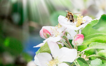 Honey Bee On Beautiful Flowers