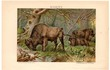Wisent. Lithograpy from 1895-1909. From Meyers and Brockhaus Konversationslexikon 5th and 6th Edition. Colourful painting.