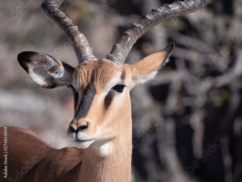 Photo Stands Antelope Antilope