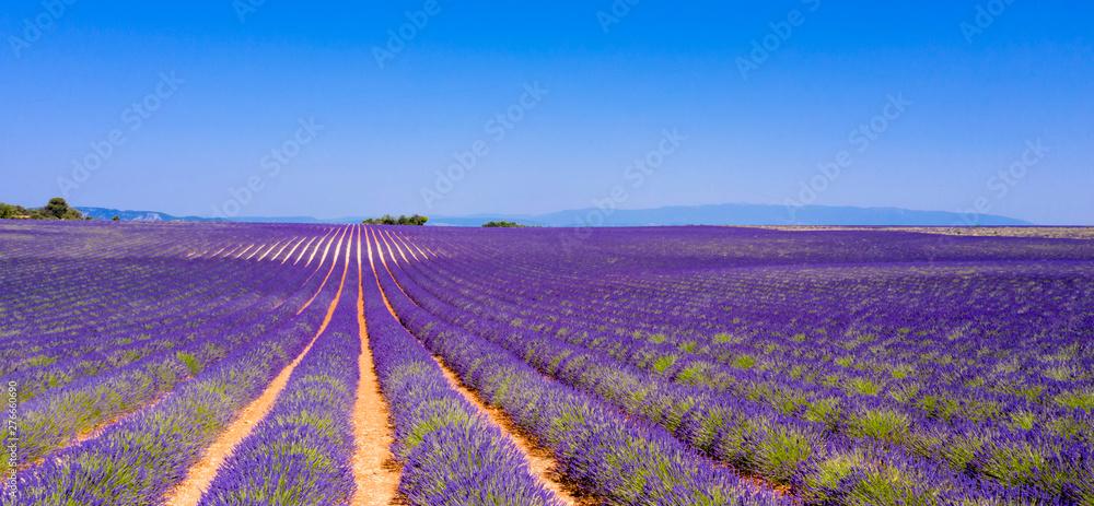 Fototapety, obrazy: champ de lavande en été, Provence en France