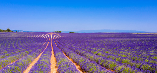 Fototapeta Lawenda champ de lavande en été, Provence en France