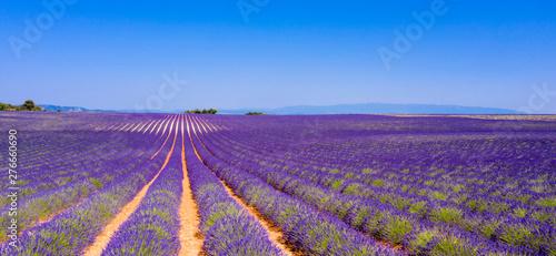 Spoed Foto op Canvas Lavendel champ de lavande en été, Provence en France