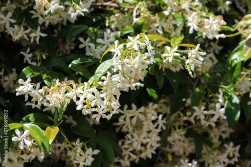 Trachelospermum jasminoides, Common names include confederate jasmine, southern Wallpaper Mural