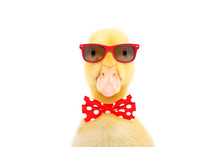 Portrait Of A Funny Little Duckling In Red Sunglasses And Bow Tie, Isolated On White Background