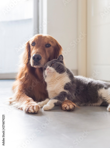 Canvas British shorthair and golden retriever friendly