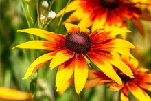 Rudbeckia Bicolor Is A Plant G...