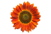Sunflower 'Moulin Rouge F1' Red Flower Isolated On White.