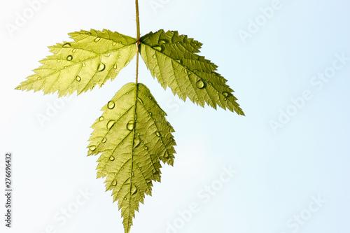 Fotografia, Obraz  Green leaf texture, beautiful nature texture concept, copy space.