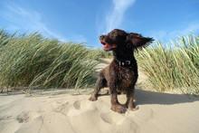 Beach Spaniel