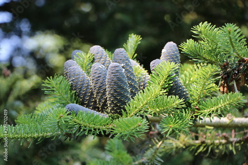 Bundle of blue fir cones on a green fir branch in the sunshine Canvas Print