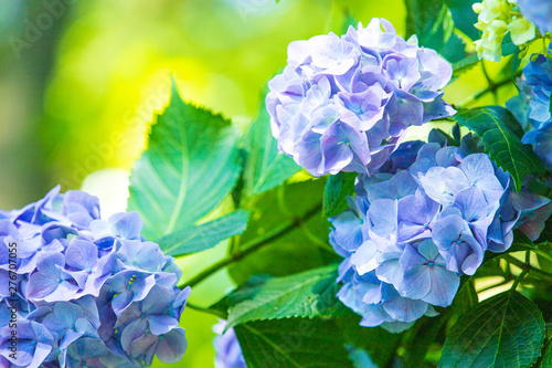 Foto op Plexiglas Hydrangea アジサイ 紫陽花