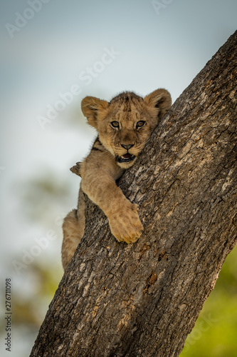 Lion cub holds on to tree trunk