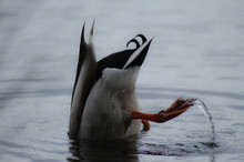 Diving For Food
