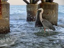 Majestic Heron Bird Standing Under Ocean Pier