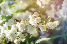 Butterfly Sitting On A Blooming Jasmine, Close-up