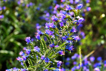 Blueweed Flowers (Echium Vulga...