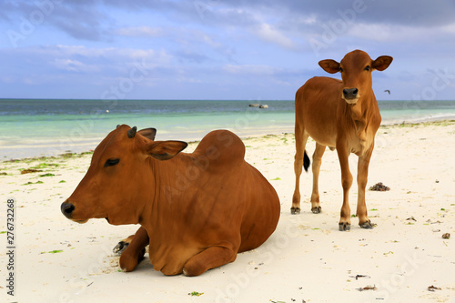 Montage in der Fensternische Sansibar cows on ocean beach in Zanzibar