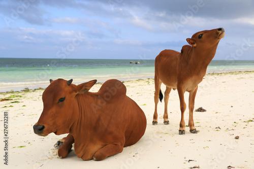Foto auf AluDibond Sansibar cows on ocean beach in Zanzibar