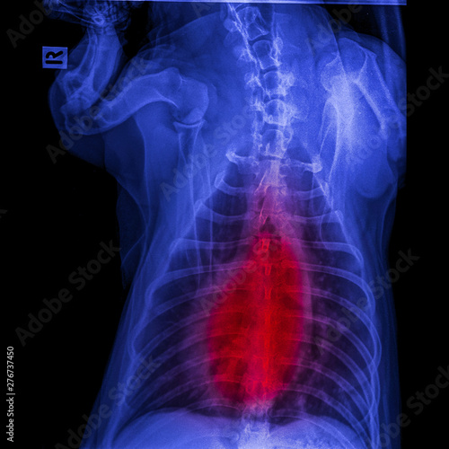 X-ray of dog posterior view closed up in thorax standard and chest with red high Wallpaper Mural