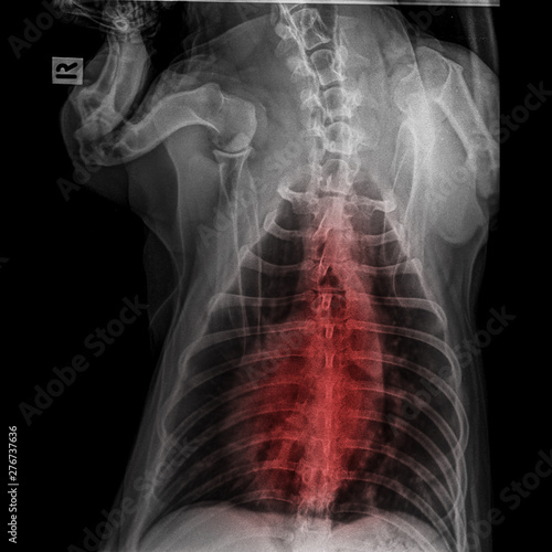 X-ray of dog posterior view closed up in thorax standard and chest with red high Canvas Print