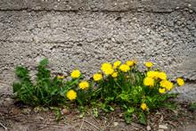Yellow Dandelion Flowers Against Concrete Wall.