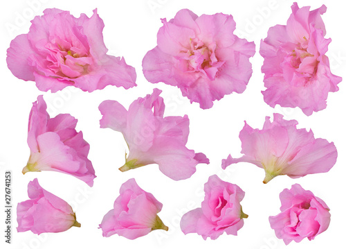 Pink blossoming azalea flowers isolated on a white background