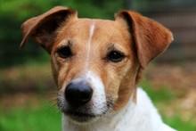 Beautiful Jack Russell Terrier Head Portrait In The Garden