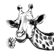 Cute Giraffe With A Flower. Cute Giraffe With A Flower. Sticker On The Wall In The Form Of A Graphic, Hand-drawn Portrait Of A Giraffe Holding A Gerbera Flower In Its Mouth.