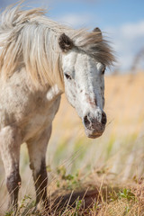 Portrait of an appaloosa pony horse with beautiful mane in nature, looking at camera. Vertical. No people.